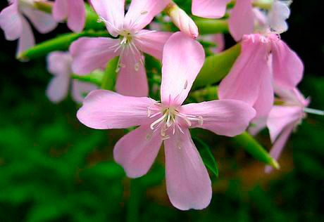 Saponaria-officinalis
